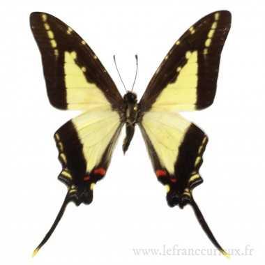 Protographium dioxippus diores - male