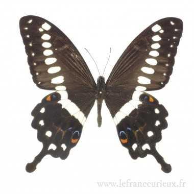 Papilio lormieri lormieri - mâle