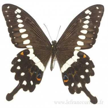 Papilio demolion demolion - mâle
