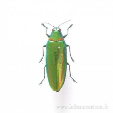 Chrysochroa rajah - femelle