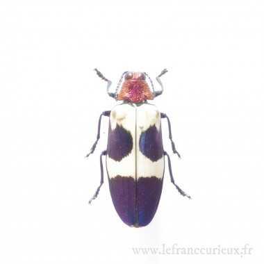 Chrysochroa buqueti rugicollis - femelle