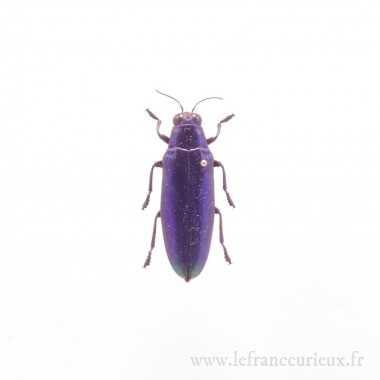 Chrysochroa fulminans fulminans bleu/violet - femelle