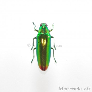 Chrysochroa fulminans fulminans - lot de 5