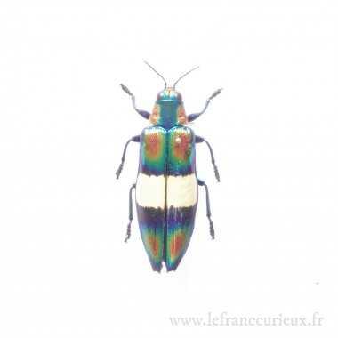 Chrysochroa toulgoeti - femelle