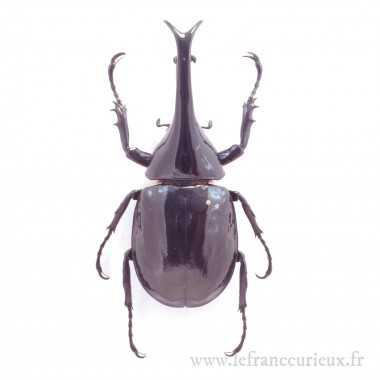 Xylotrupes sumatrensis - mâle - 75-79mm