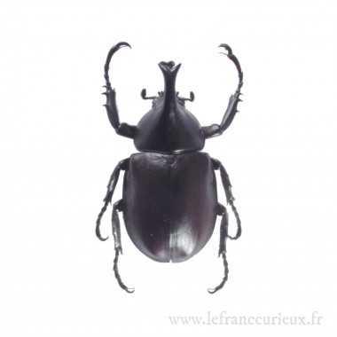 Xylotrupes gideon ulysses - mâle - 45-49mm