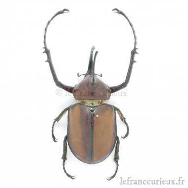 Golofa porteri - mâle - 65-69mm