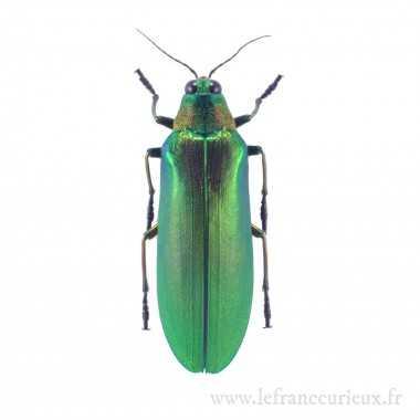 Megaloxantha concolor -...