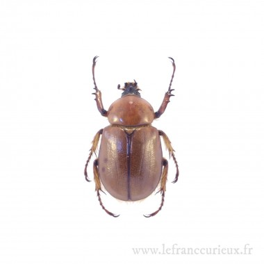 Golofa unicolor - mâle - 30-34mm