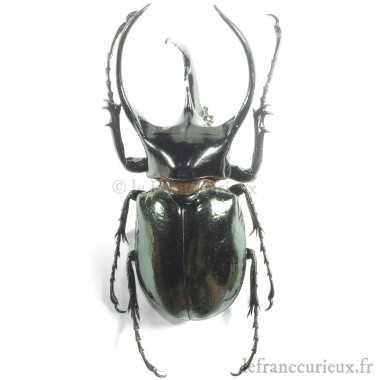 Chalcosoma chiron chiron - mâle - 60-64mm