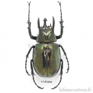 Chalcosoma atlas keyboh - mâle - 75-79mm