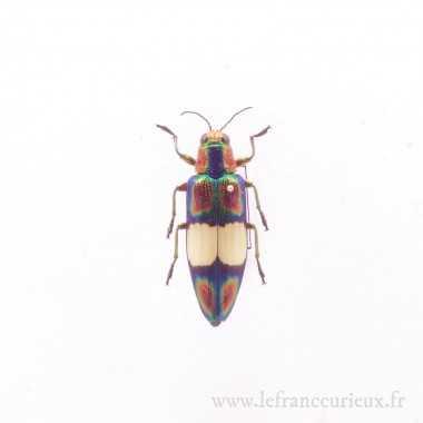 Chrysochroa fulgens - mâle