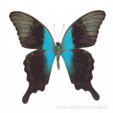 Papilio peranthus adamantius - Mâle