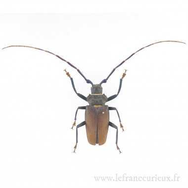 Mallaspis scutellaris -...