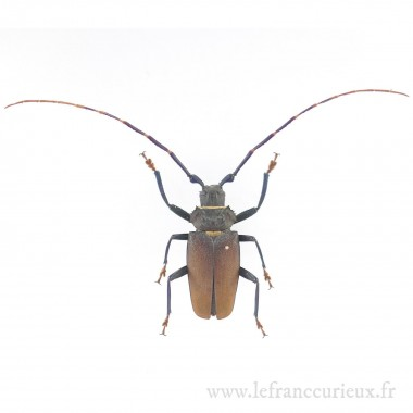 Mallaspis scutellaris