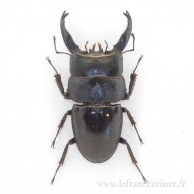 Dorcus alcides - mâle - 70-74mm