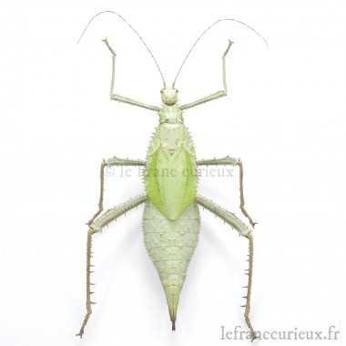 Heteropteryx dilatata -...