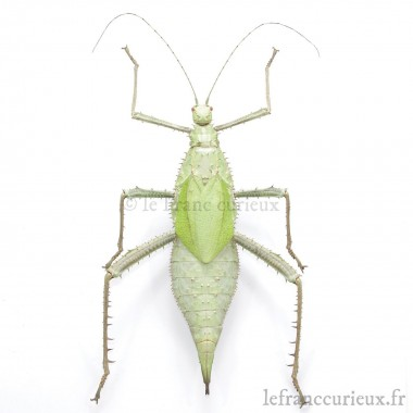 Heteropteryx dilatata - femelle