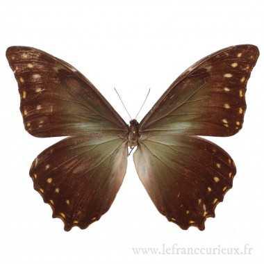 Morpho hercules diadema - mâle