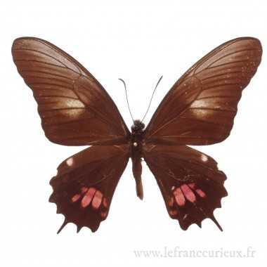 Papilio isidorus isidorus -...