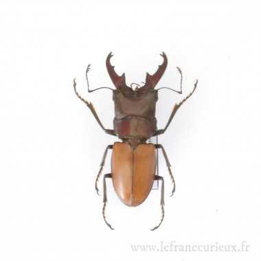 Cyclommatus bicolor - mâle...