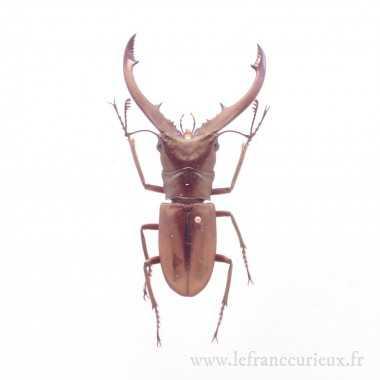 Cyclommatus tarandus...