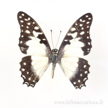 Graphium angolanus baronis...
