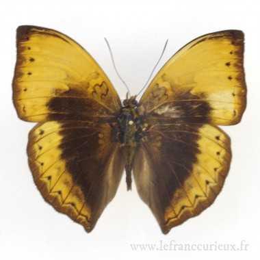 Cymothoe hypata - mâle