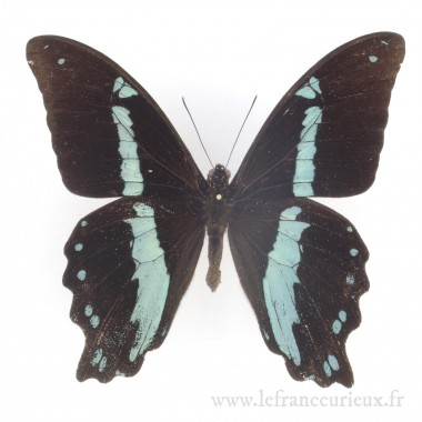 Papilio nireus - mâle