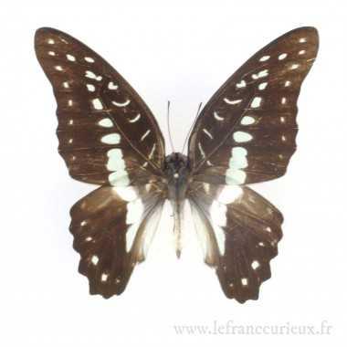 Graphium meyeri - mâle