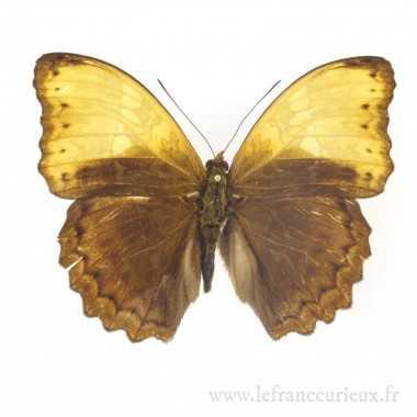 Cymothoe diphia - mâle