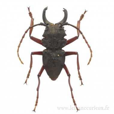 Prionocalus cacicus - mâle...