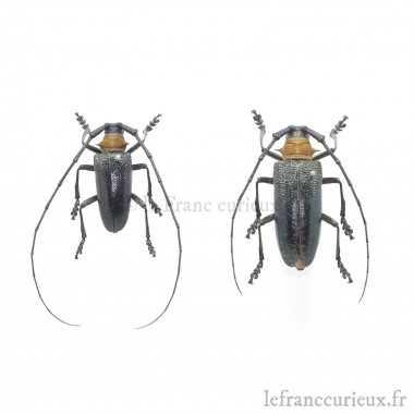 Nemophas batoceroides -...