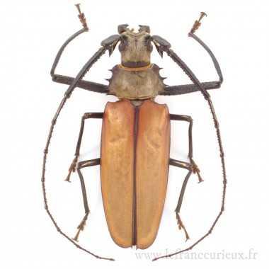Enoplocerus armillatus -...