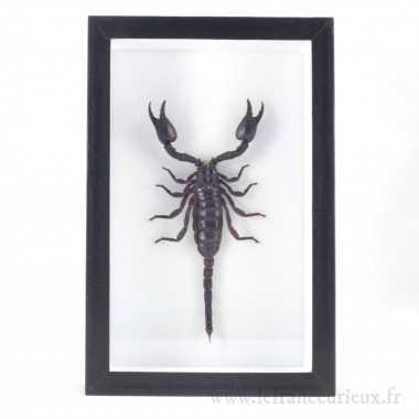 Scorpion monté dans un cadre