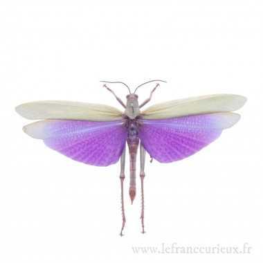 Titanacris albipes - mâle