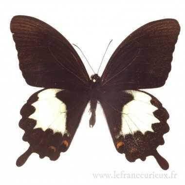 Papilio albinus - mâle