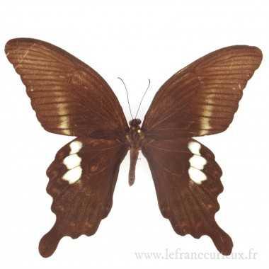 Papilio fuscus pertinax -...