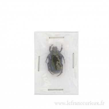 Glycyphana moluccarum - verte