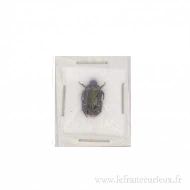 Glycyphana quadricolor