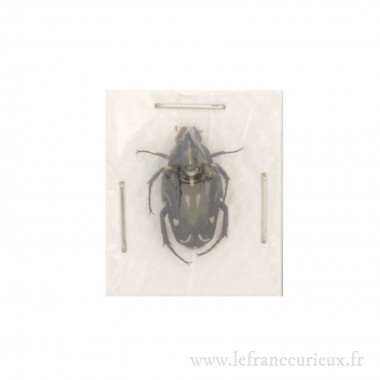 Ixorida (Mecinonota) luctuosa