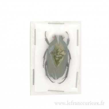Lomaptera mortiana