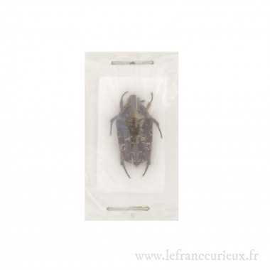 Miksicus acuminatus