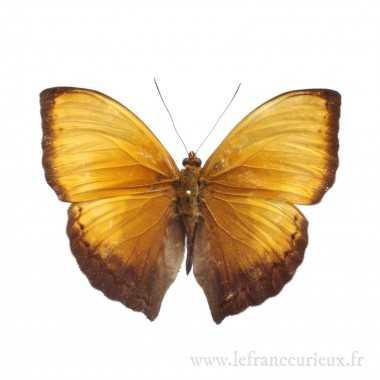 Cymothoe lurida - mâle