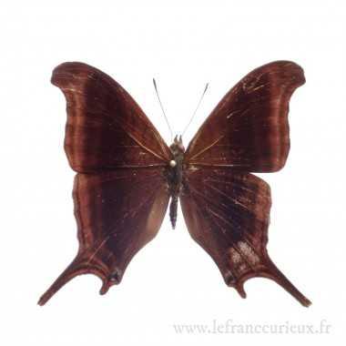 Marpesia zerynthia zerynthia