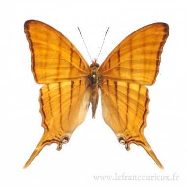 Marpesia harmonia - mâle