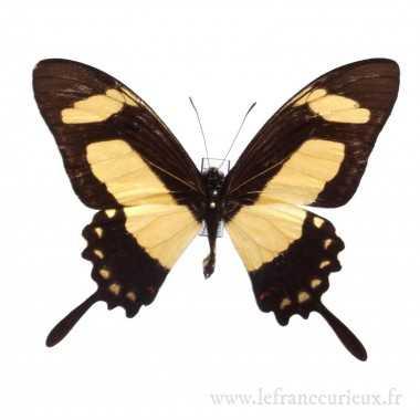 Papilio torquatus torquatus...