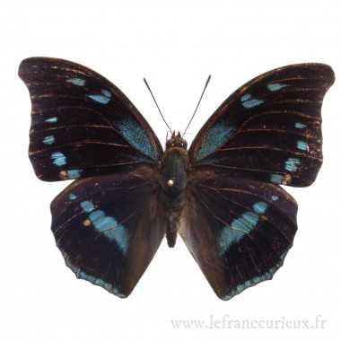 Charaxes mycerina - mâle