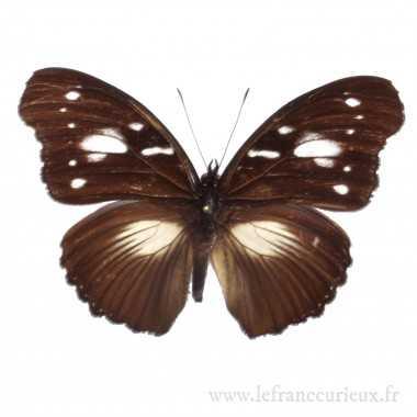 Hypolimnas bartelotti - mâle