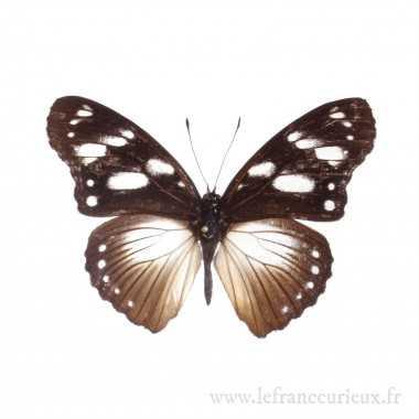 Hypolimnas dubius - mâle